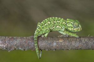 Close up view of a baby Mediterranean Chameleon on a branch.